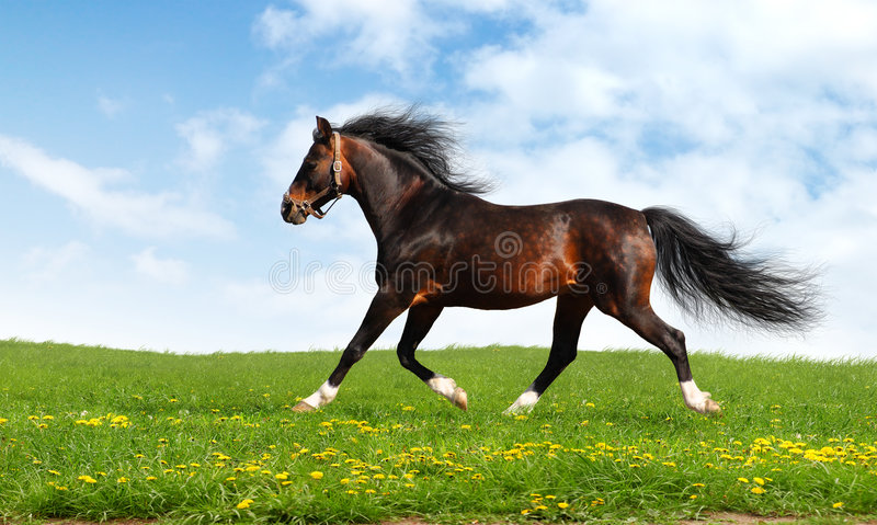 Arabische Pferden-Trab Lizenzfreie Stockbilder