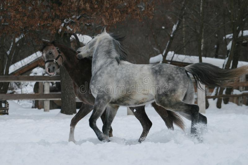 2 arabische Pferdespiele im Schnee in der Koppel lizenzfreie stockfotografie