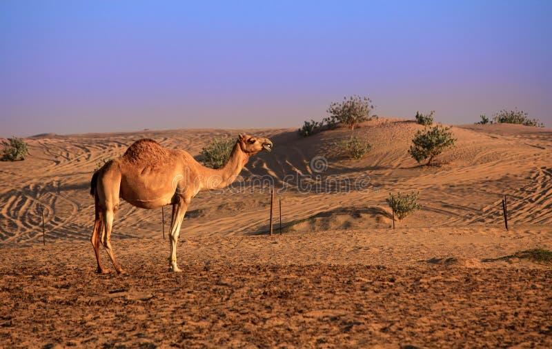 Arabisches Kamel lizenzfreie stockfotos