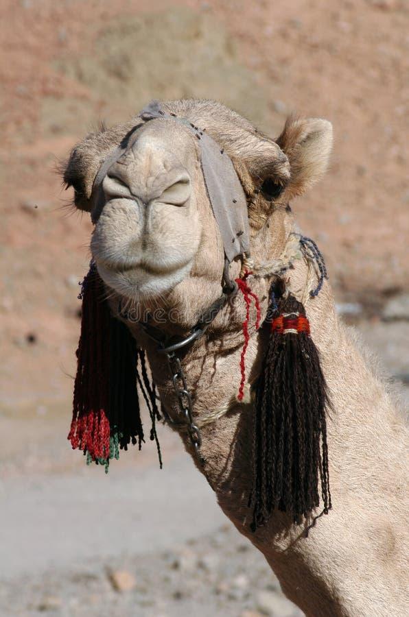 Arabisches Kamel stockfoto