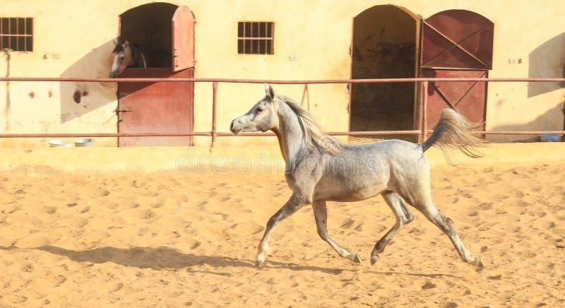 Arabisches Pferd in einer sandigen Ranch stockbild