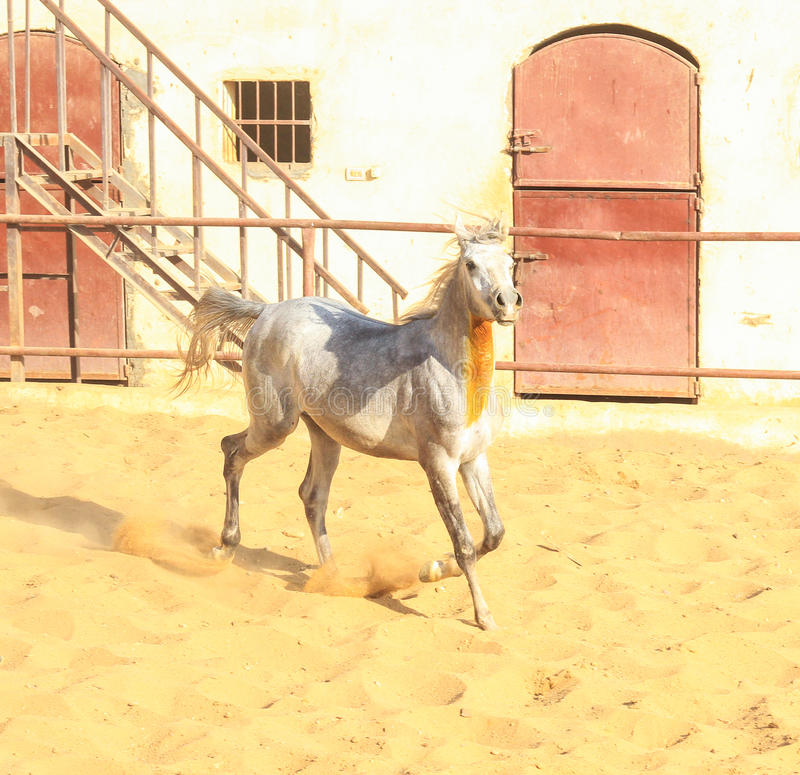 Arabisches Pferd in einer sandigen Ranch stockfotografie