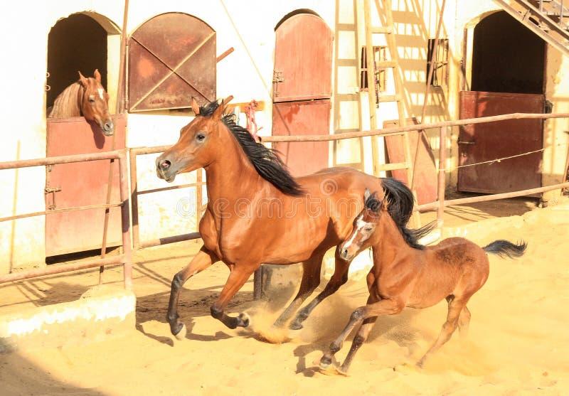 Arabisches Pferd in einer sandigen Ranch stockbilder