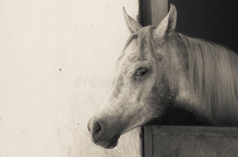 Arabisches Pferd in einer sandigen Ranch lizenzfreies stockbild