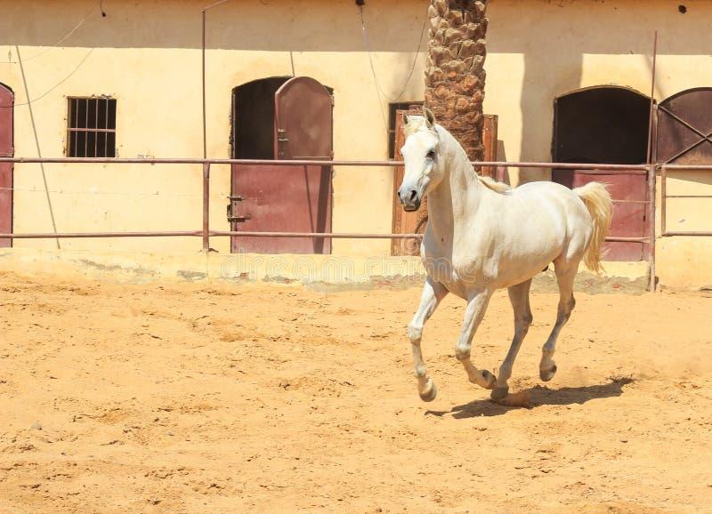 Arabisches Pferd in einer sandigen Ranch lizenzfreie stockbilder