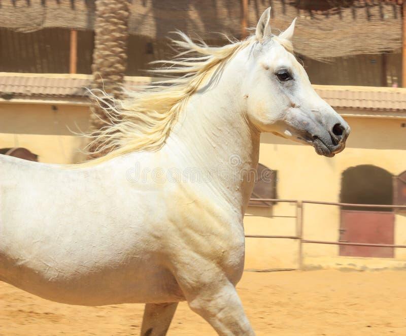 Arabisches Pferd in einer sandigen Ranch stockfoto