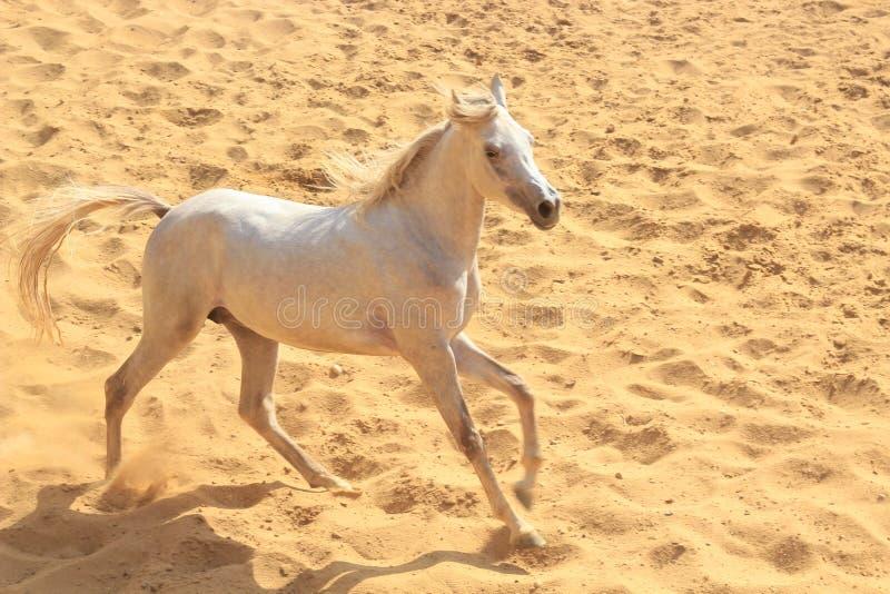 Arabisches Pferd in einer sandigen Ranch stockfotos
