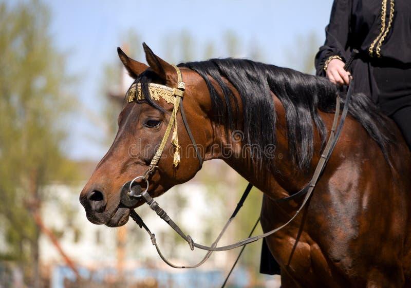 Arabisches Pferd mit Mitfahrer stockfotografie