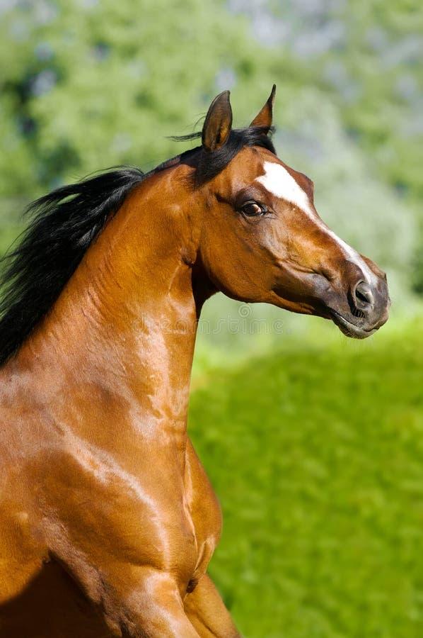 Arabisches Pferdenportrait des Schachtes in der Bewegung stockfoto
