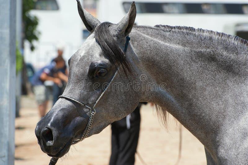 Arabisches und ägyptisches Pferd stockbilder