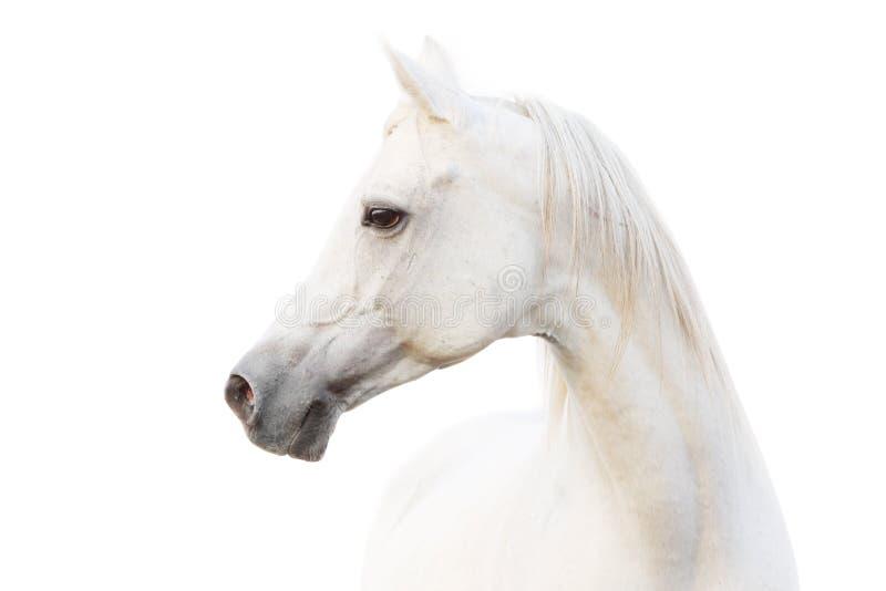 Arabisches weißes Pferd lizenzfreies stockbild