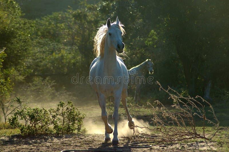 arabisk häst arkivbilder