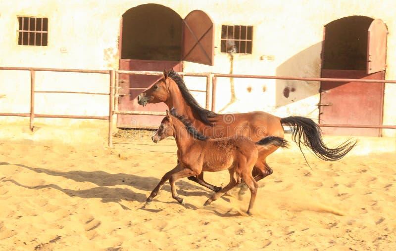 Arabisk häst i en sandig ranch fotografering för bildbyråer