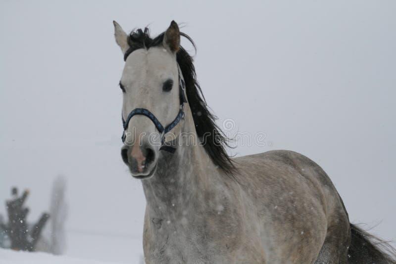 Arabisk häst på en snölutningskulle i vinter Hästen kör en canter i vintern på en snöig lutning royaltyfria foton
