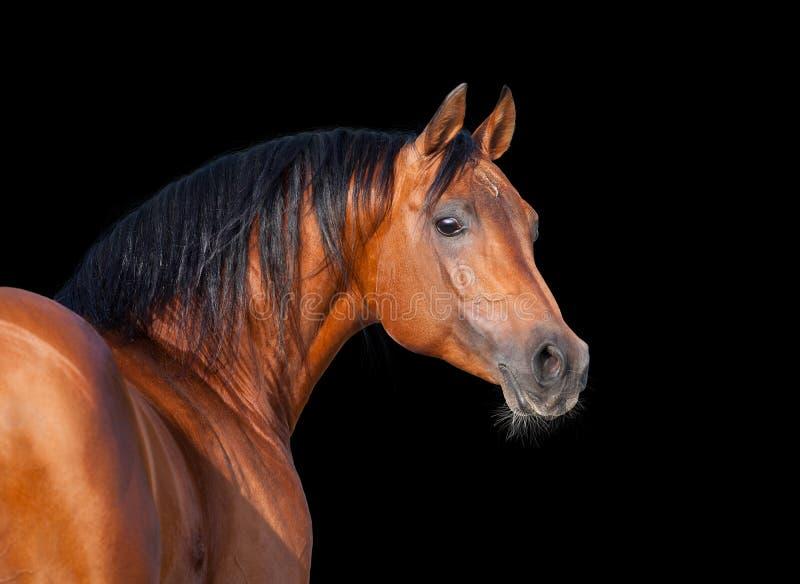 Arabisk häst som isoleras arkivbild