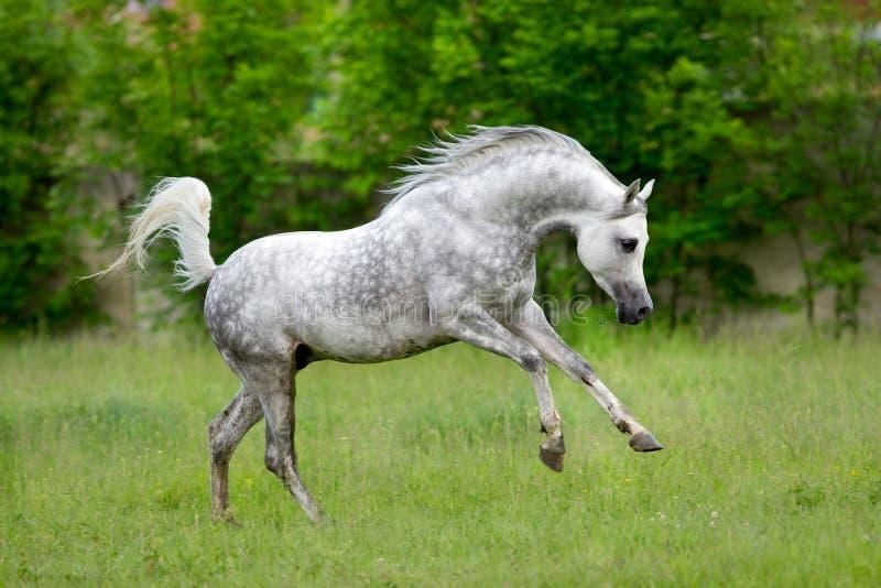 Arabisk hästkörningsgalopp på grön bakgrund royaltyfria bilder