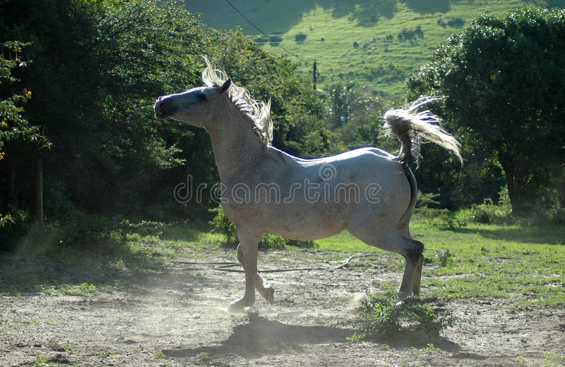 arabisk hästwhite royaltyfri foto