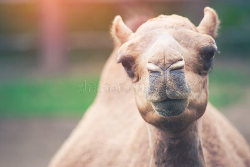 Arabisk kamel arkivfoton