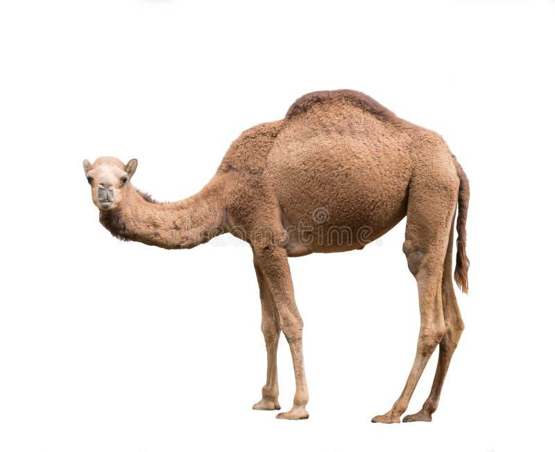 Arabisk kamel som isoleras på vit bakgrund arkivfoto