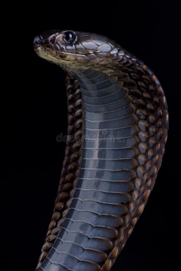 Arabisk kobraNajaarabica royaltyfri fotografi