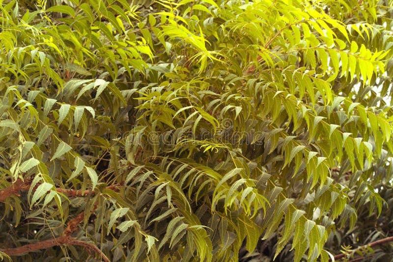 ARABISKA EMIRATER FÖR DUBAI-UNITED PÅ 21 JULI 2017 green leaves Naturlig modell av sidorna av växter med solljus fotografering för bildbyråer