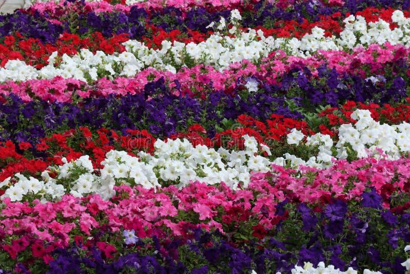 ARABISKA EMIRATER FÖR DUBAI-UNITED PÅ 21 JUNI 2017 Härliga och färgrika blommor i en botanisk trädgård royaltyfri fotografi