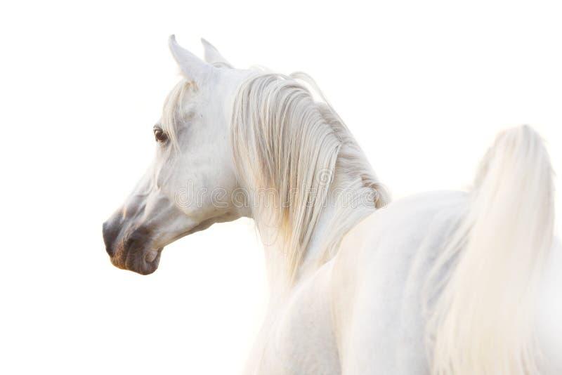 Arabo bianco fotografia stock