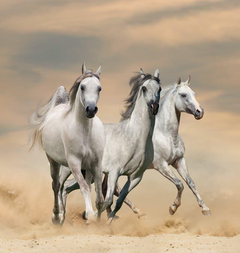 Arabscy konie w pustyni fotografia stock