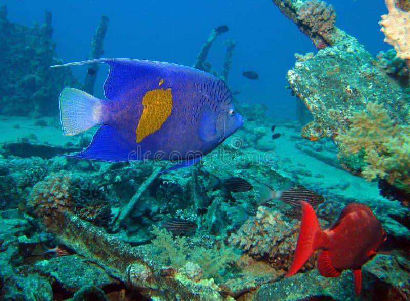 Arabski angelfish zdjęcia stock