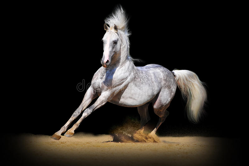Arabski koń na czerni zdjęcia royalty free