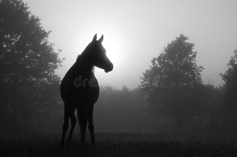 Arabski koń w mgle przy wschodem słońca zdjęcie royalty free