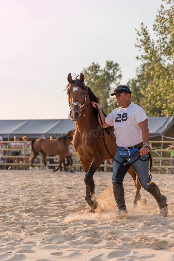 Arabski koń z właścicielem zdjęcia royalty free