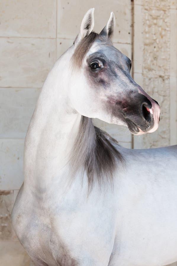 arabski koński biel fotografia royalty free