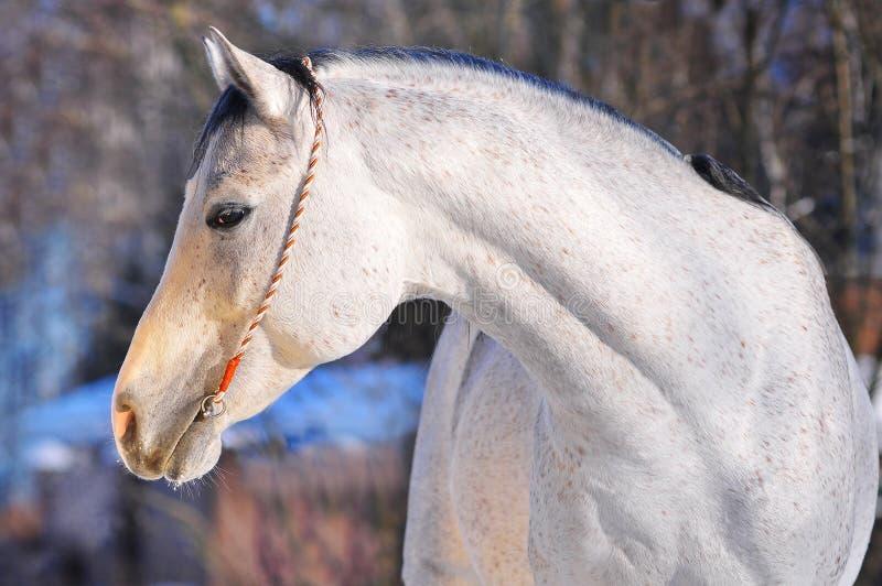 arabski koński portret zdjęcie royalty free
