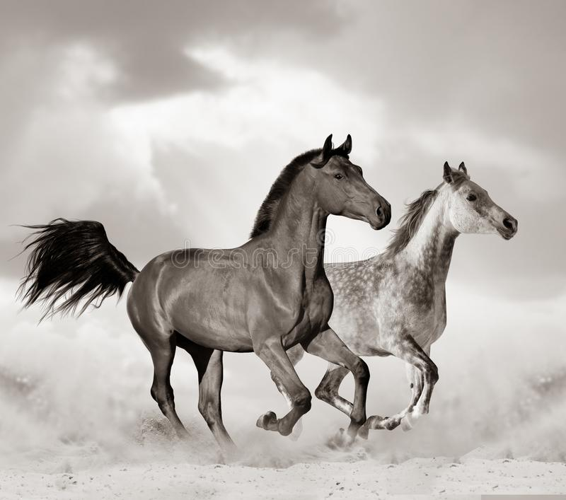 Arabski ko? w pustyni zdjęcia royalty free