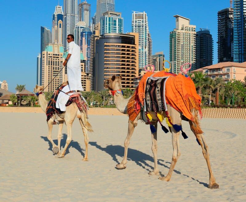 Arabski mężczyzna obsiadanie na wielbłądzie na plaży w Dubaj zdjęcie stock