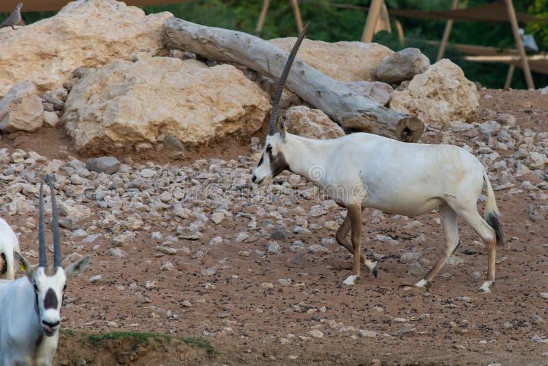 Arabski oryx Oryx leucoryx krytycznie zagrażał mieszkana Arabscy zatoka stojaki w gorącym pustynnym piasku blisko wodopoju fotografia stock