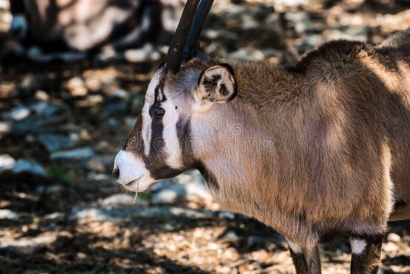 Arabski oryx zamknięty w górę kierowniczego i ramion zdjęcie royalty free