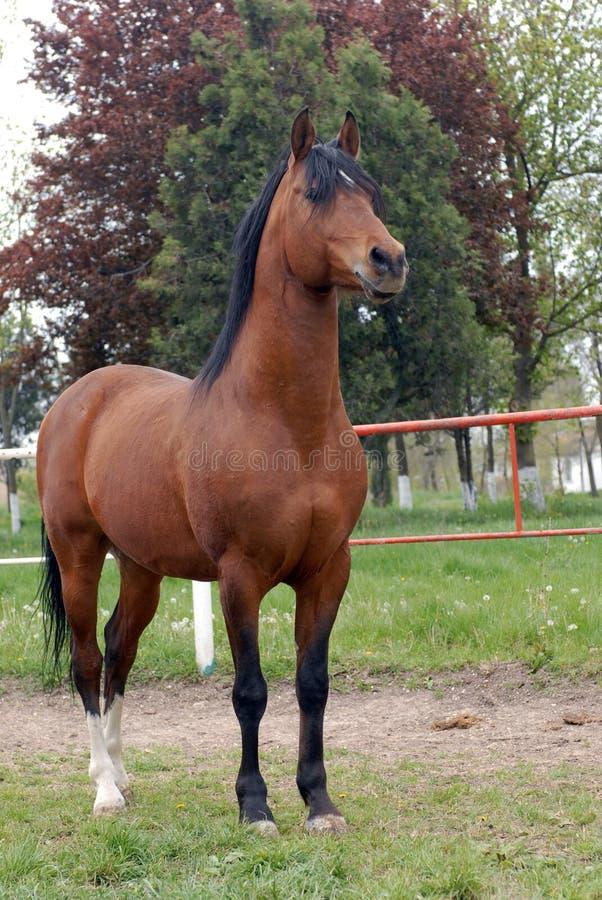 Arabski thoroughbred koń zdjęcie royalty free