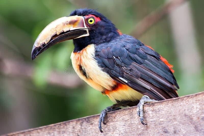Aracari était perché sur une barrière en bois images stock