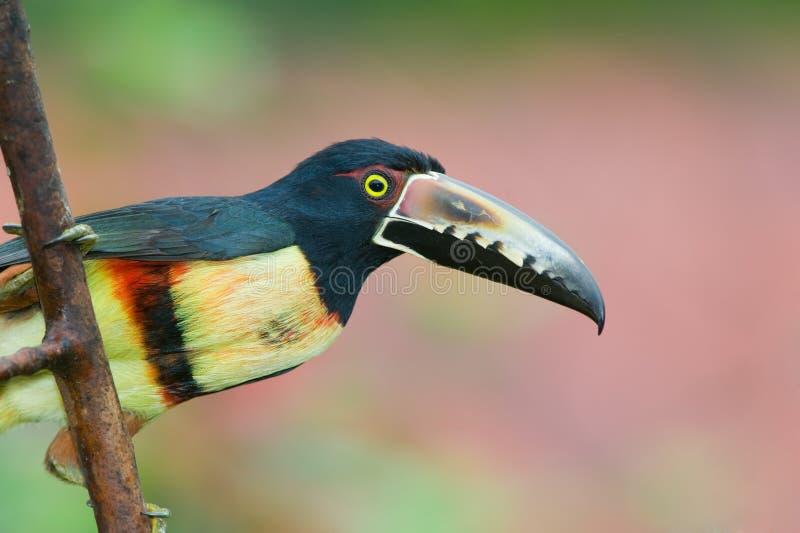 aracari που πιάνεται στοκ φωτογραφίες με δικαίωμα ελεύθερης χρήσης