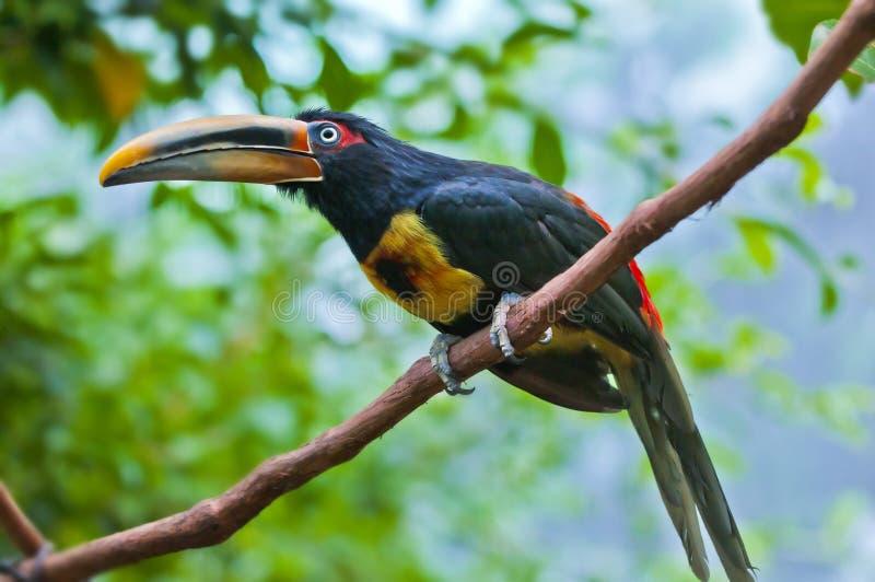 Aracari zdjęcie stock