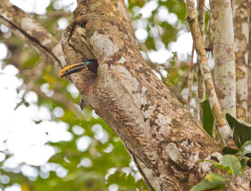 Aracari Castanha-orelhudo fotos de stock