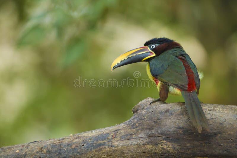Aracari Castanha-orelhudo, castanotis de Pteroglossus, Pantanal, Brazi fotografia de stock royalty free