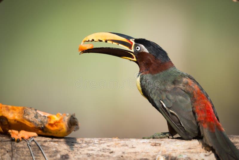aracari Castanha-orelhudo empoleirado no log que come a papaia imagem de stock