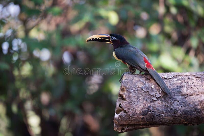 aracari Castanha-orelhudo no perfil empoleirado no log fotos de stock