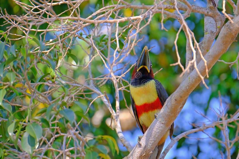 Aracari Castanha-orelhudo, Pteroglossus Castanotis, pássaro da família do tucano, Ramphastidae, Mato Grosso, Pantanal, Brasil foto de stock