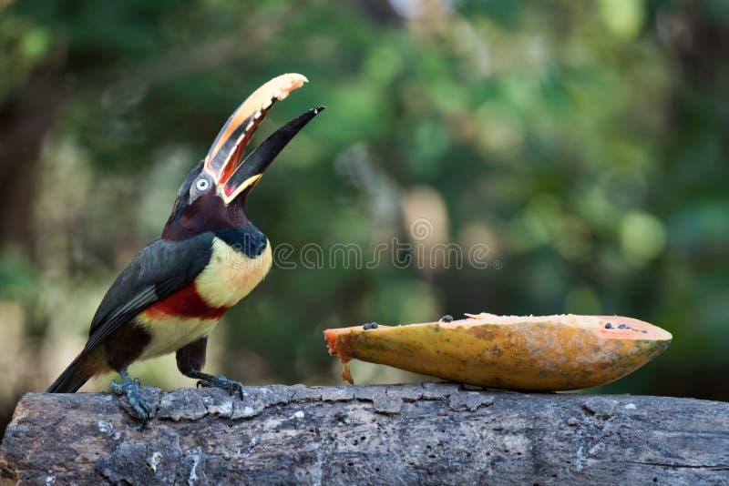 aracari Castanha-orelhudo que come a papaia com bico aberto imagens de stock royalty free