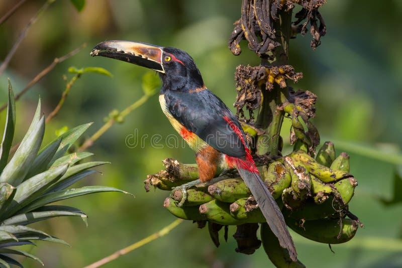 Aracari colocado um colar de Arenal Volcano National Park, Costa Rica fotografia de stock royalty free