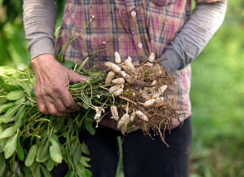 Arachide de récolte d'agriculteur photographie stock